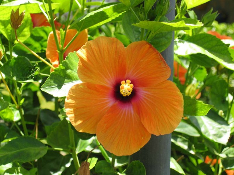 Orange flower hibiscus vacation rental